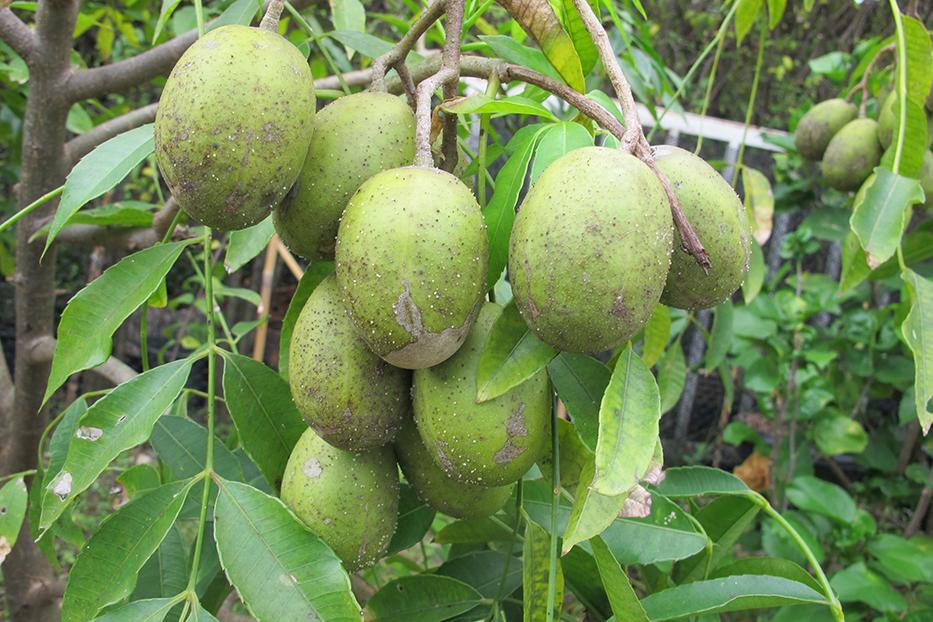 ประโยชน์ของมะกอก